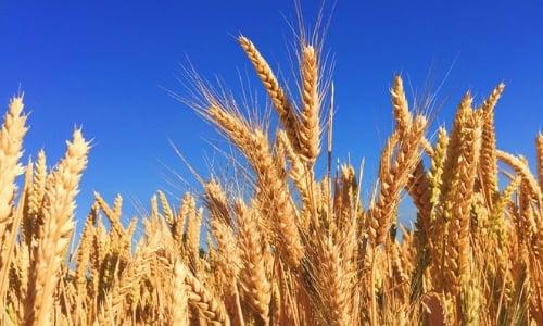 trigo-productos-mexicanos-exitosos-europa-1